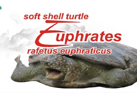 Euphrates Soft Shell Turtle